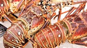 This Image Is being Download Please Wait.,Remember our other products in Scarpa Worldwide Limited Such as:Mahi Mahi, Hake, Scallops, Salmon, Trout, Skewers, Galapagos Lobsters, Wild Shrimp, Squid, Shrimp, Titi, Pelagic, Sword Fish ...For More Information Contact Us.